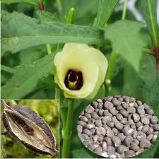 AMBRETTEE SEED OIL - Rakesh Sandal Industries