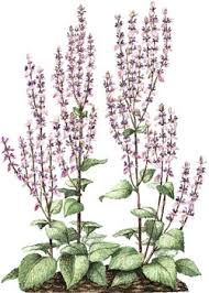 CLARY SAGE OIL - Rakesh Sandal Industries